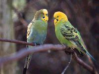 Волнистые попугайчики (Melopsittacus undulatus)