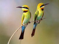 Радужная щурка (Merops ornatus),