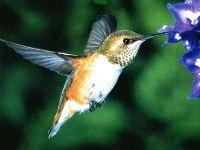 Охристый колибри - Selasphorus rufus - молодая птица