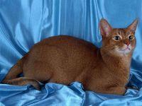 Абиссинская кошка,