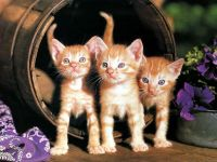 Рыжие котята, фото обои фотография