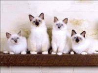 Котята священной бирмы