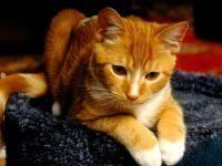 Рыжая кошка, фото обои фотография