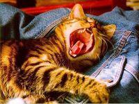 Зевающая кошка