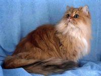 Персидская кошка (золотистая шиншилла)