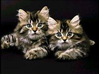 Сибирские котята, фото обои фотография