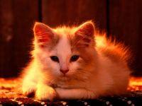 Пушистый котенок, фотография  обои фото