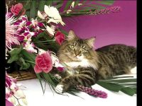 Сибирский кот обои