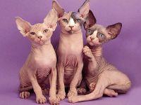 Донские сфинксы, голые кошки,