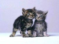 Серенькие котята