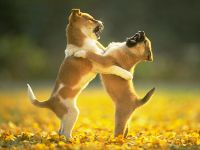 Играющие щенки