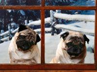 Мопсы за окном