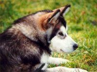 Собака маламут