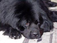 Ньюфаундленд собаки