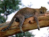 Леопард спящий на ветке дерева фото
