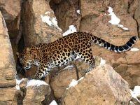Леопард (Panthera pardus)
