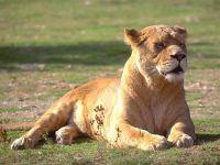 Львица (Felis leo)