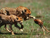 Охотящиеся гепарды