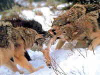 Стая волков делит добычу