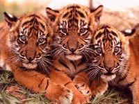Тигрята обои