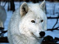 Полярный волк (Canis lupus tundrarum) фото