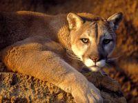 Пума (Puma concolor) фото