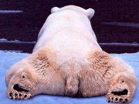 Забавный белый медведь, фото обои фотография