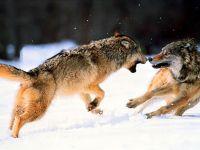 Дерущиеся волки,