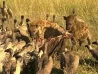 Пятнистые гиены и грифы