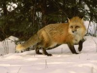 Рыжая лиса в зимнем лесу