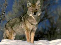 Койот (Canis latrans) фото