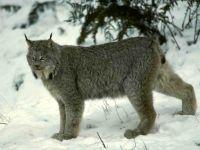 Канадская рысь (Lynx canadensis) фото