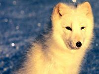 Песец (Alopex lagopus) полярная лиса