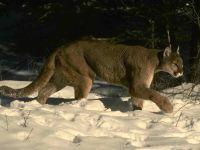 Пума, или горный лев (Puma concolor) фото