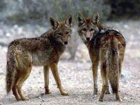 Койот, или луговой волк (Canis latrans)