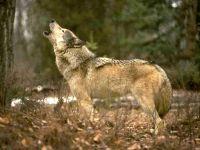 Воющий волк (Canis lupus), обои фото фотография