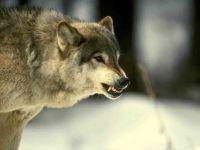 Оскаленный волк