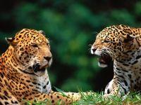 Пара ягуаров фото
