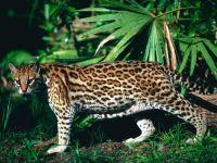 Оцелот (Leopardus pardalis) фото
