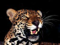 Леопард (Panthera pardus), обои фото фотография