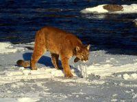 Пума на льдине