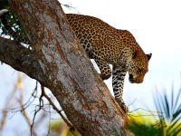 Леопард слезает с дерева