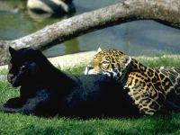 Ягуар и черная пантера