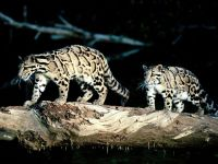 Дымчатые леопарды (Neofelis nebulosa)