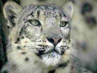 Снежный барс (Panthera uncia)