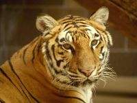 Тигр фотография