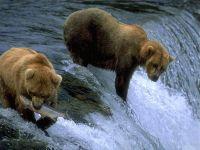 Бурые медведи охотятся на лосося