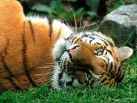 Тигр лежит на спине фотография