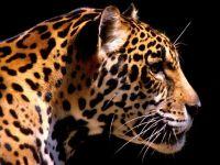 Голова ягуара в профиль