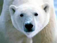 Белый медведь (Ursus maritimus)